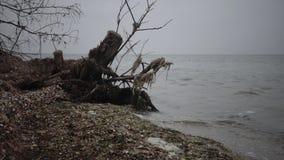 Wielki nieżywy drzewo na piaskowatej plaży, chmurzący dzień zbiory wideo