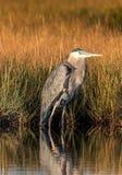 wielki niebieski okres heron wysoki obrazy stock
