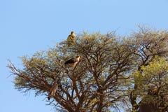 Wielki orzeł na drzewie w Kalahari pustyni, Afryka safari przyroda Fotografia Royalty Free