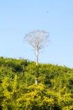 Wielki osamotniony drzewo wśród zwartego lasu Zdjęcie Royalty Free