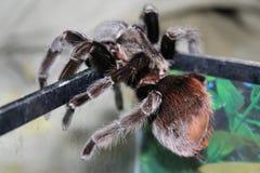 Wielki pająk w pięknym terrarium fotografia stock