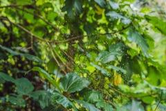 Wielki pająk z kolorów żółtych lampasami na pajęczynie w ogródzie Pająka pająka lat Araneus araneomorph mili pająki fa zdjęcie royalty free