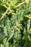 Wielki pająk z kolorów żółtych lampasami na pajęczynie w ogródzie Pająka pająka lat Pionowo fotografia obraz royalty free