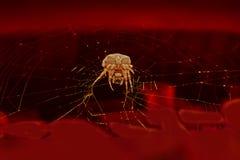 Wielki pająk na sieci obraz royalty free