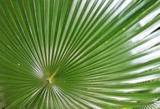 Wielki Palmowy liść Zdjęcia Stock