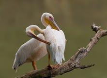 wielki pary pelikana biel Zdjęcie Stock