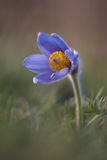 Wielki pasque kwiat, grandis/Große Kuhschelle, Pulsatilla/ obrazy royalty free