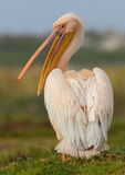wielki pelikan Zdjęcie Royalty Free