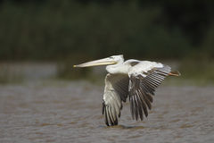 Wielki pelikan w flighrt Fotografia Stock