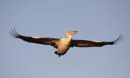 Wielki pelikan w locie zdjęcie royalty free