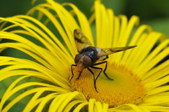 Wielki Pied Hoverfly Fotografia Royalty Free