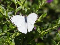 Wielki Południowy Biały motyl, Ascia monuste Zdjęcie Stock