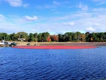 Wielki pole cranberries bagna zdjęcie royalty free