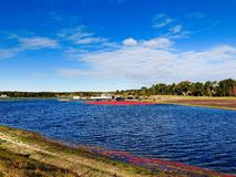 Wielki pole cranberries bagna obrazy royalty free