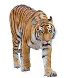 Wielki pomarańczowy tygrys odizolowywający na bielu obraz stock