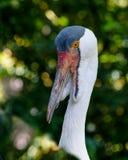 Wielki ptasi Wattled żuraw Gruidae rodzina Portret pokazuje wyróżniających wattles Zdjęcie Stock