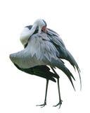 Wielki ptasi Wattled żuraw Gruidae rodzina w Walsrode ptaka parku pionowo odosobniony Fotografia Stock