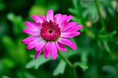 Wielki purpur menchii kwiat w kwiacie Zdjęcie Stock
