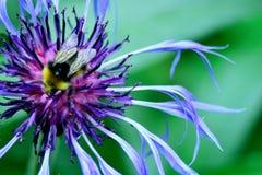 Wielki purpur menchii kwiat w kwiacie Zdjęcie Royalty Free