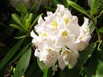Wielki różanecznik - Rododendronowy maksimum Zdjęcia Royalty Free