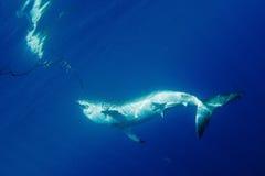 wielki rekin white Zdjęcie Stock