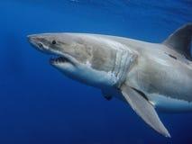 wielki rekin white Obrazy Royalty Free