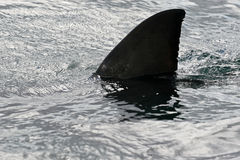 wielki rekin white Obrazy Stock