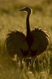 Wielki Rhea, Zdjęcie Royalty Free