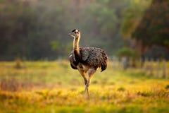 Wielki Rhea, Rhea americana, duży ptak z puszystymi piórkami, zwierzę w natury siedlisku, evening słońce, Pantanal, Brazylia Rhea obraz stock