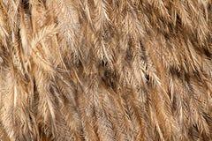 Wielki Rhea piórka americana wzór obrazy stock