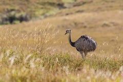 Wielki Rhea - Wielki ptak brazylijski Ce (Rhea americana) Fotografia Royalty Free