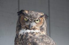 Wielki rogaty owl2 Zdjęcie Royalty Free