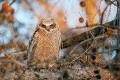 Wielki Rogaty Owlet Zdjęcie Stock