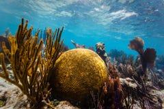 Wielki round móżdżkowy koral i gałąź koral na tropikalnej rafie koralowa Fotografia Stock