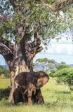 Wielki słoń pod drzewem z ucho otwiera w defence zdjęcie stock