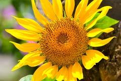 wielki słonecznik Fotografia Royalty Free