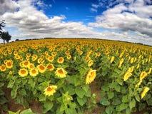 Wielki słonecznika pole, szeroki kąta krótkopęd Fotografia Royalty Free