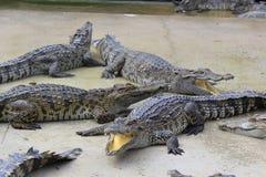 Wielki słodkowodny krokodyl Zdjęcia Royalty Free