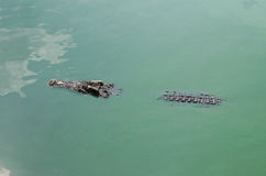 Wielki słodkowodny krokodyl, Straszni krokodyle w wodzie Obraz Stock