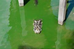 Wielki słodkowodny krokodyl, Straszni krokodyle w wodzie Zdjęcie Royalty Free