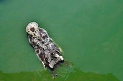 Wielki słodkowodny krokodyl, Straszni krokodyle w wodzie Obrazy Stock