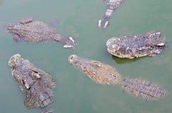 Wielki słodkowodny krokodyl, Straszni krokodyle w wodzie Obraz Royalty Free