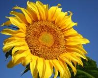 wielki słonecznik Zdjęcie Royalty Free