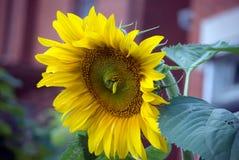 wielki słonecznik Zdjęcia Royalty Free