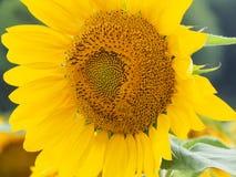 wielki słonecznik Obraz Royalty Free