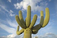 Wielki saguaro kaktus i białe bufiaste chmury w wiośnie w Saguaro parku narodowym Zachodnim, Tucson, AZ Obraz Stock
