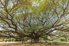 Wielki Samanea saman drzewo Zdjęcie Stock