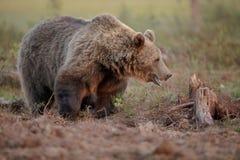 Wielki samiec niedźwiedź, Finlandia zdjęcie royalty free