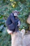 wielki samotnie małpa góry drzewny kufer posiedzenia Fotografia Stock