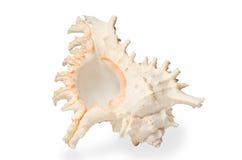 Wielki seashell. Zdjęcie Stock